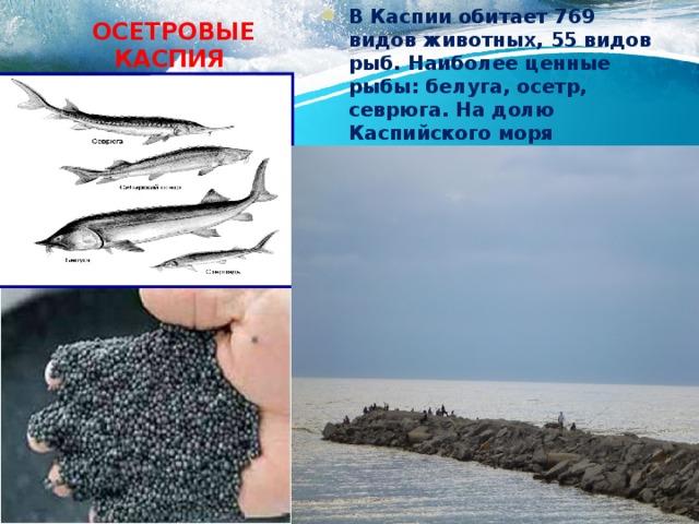 Осетровые каспия В Каспии обитает 769 видов животных, 55 видов рыб. Наиболее ценные рыбы: белуга, осетр, севрюга. На долю Каспийского моря приходится 80% осетровых, ежегодно добываемых в мире.