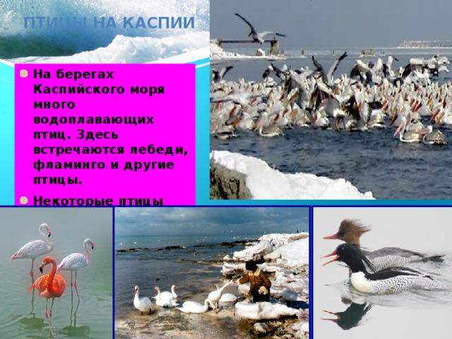 Птицы на Каспии На берегах Каспийского моря много водоплавающих птиц. Здесь встречаются лебеди, фламинго и другие птицы. Некоторые птицы являются постоянными обитателями, другие – пролетные.