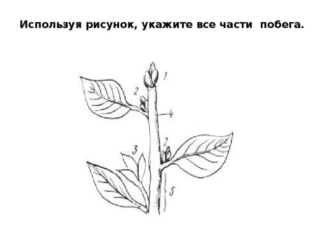 Используя рисунок, укажите все части побега.