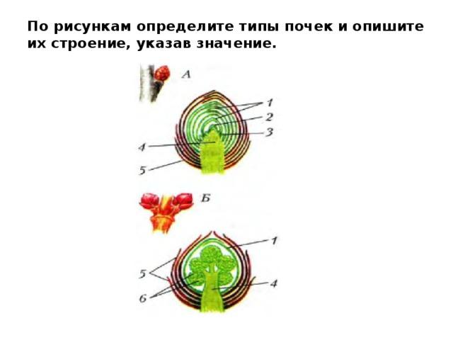 По рисункам определите типы почек и опишите их строение, указав значение.