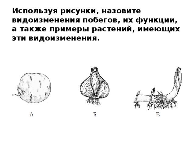 Используя рисунки, назовите видоизменения побегов, их функции, а также примеры растений, имеющих эти видоизменения.