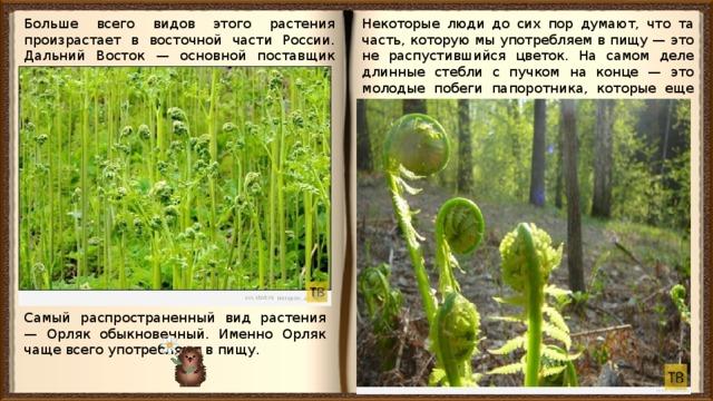 Больше всего видов этого растения произрастает в восточной части России. Дальний Восток — основной поставщик папоротника на прилавки магазинов. Некоторые люди до сих пор думают, что та часть, которую мы употребляем в пищу — это не распустившийся цветок. На самом деле длинные стебли с пучком на конце — это молодые побеги папоротника, которые еще не распустились в лист. Самый распространенный вид растения — Орляк обыкновенный. Именно Орляк чаще всего употребляют в пищу.