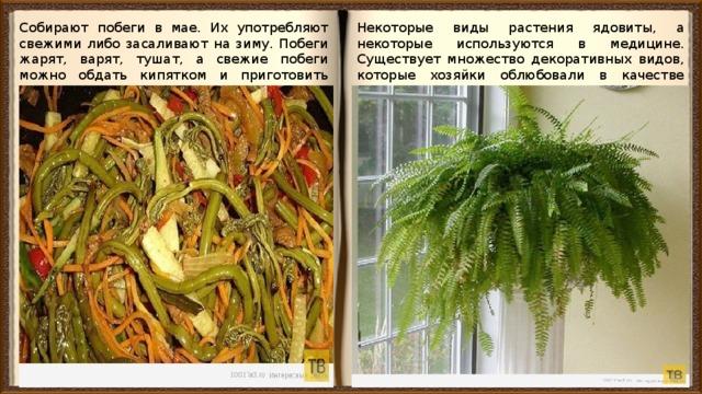 Собирают побеги в мае. Их употребляют свежими либо засаливают на зиму. Побеги жарят, варят, тушат, а свежие побеги можно обдать кипятком и приготовить вкуснейший салат. Некоторые виды растения ядовиты, а некоторые используются в медицине. Существует множество декоративных видов, которые хозяйки облюбовали в качестве комнатных растений.