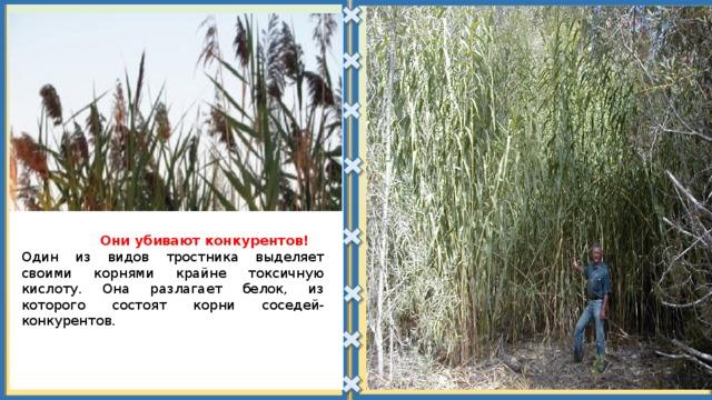 Они убивают конкурентов! Один из видов тростника выделяет своими корнями крайне токсичную кислоту. Она разлагает белок, из которого состоят корни соседей-конкурентов.