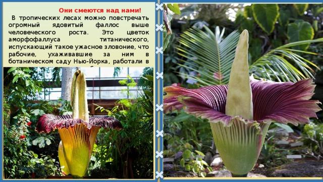 Они смеются над нами!  В тропических лесах можно повстречать огромный ядовитый фаллос выше человеческого роста. Это цветок аморфофаллуса титанического, испускающий такое ужасное зловоние, что рабочие, ухаживавшие за ним в ботаническом саду Нью-Йорка, работали в противогазах, а после работы меняли свою защитную одежду.