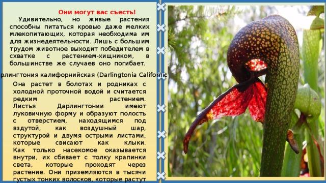Они могут вас съесть!  Удивительно, но живые растения способны питаться кровью даже мелких млекопитающих, которая необходима им для жизнедеятельности. Лишь с большим трудом животное выходит победителем в схватке с растением-хищником, в большинстве же случаев оно погибает.    Дарлингтония калифорнийская (Darlingtonia Californica) Она растет в болотах и родниках с холодной проточной водой и считается редким растением.  Листья Дарлингтонии имеют луковичную форму и образуют полость с отверстием, находящимся под вздутой, как воздушный шар, структурой и двумя острыми листами, которые свисают как клыки.  Как только насекомое оказывается внутри, их сбивает с толку крапинки света, которые проходят через растение. Они приземляются в тысячи густых тонких волосков, которые растут внутрь. Насекомые могут следовать за волосками вглубь к пищеварительным органам, но не могут вернуться назад.