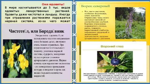 Они ядовиты! В мире насчитывается до 5 тыс. видов ядовитых лекарственных растений. Ядовиты даже чистотел и ландыш. Иногда при отравлении растениями поражается нервная система, из-за чего может наступить смерть от остановки сердца.