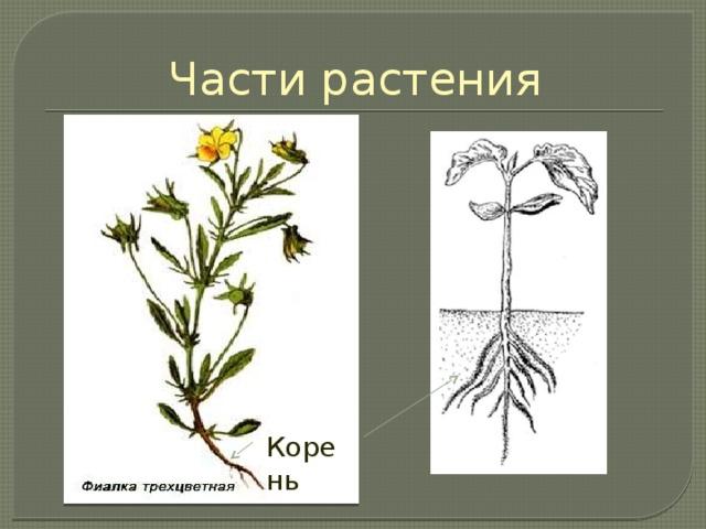 Части растения У растений в почве развиваются корни. Корень является органом питания: он доставляет растению воду и растворённые в ней минеральные вещества, соли. Другая важная роль корня – удерживать растение в почве. Корень Корень