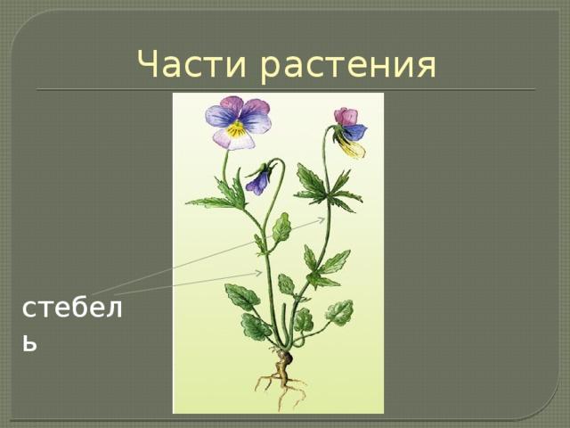 Части растения Стебель соединяет корневую систему растения с листьями. Стебель служит опорой для листьев и придаёт форму всему растению. По нему в растении передвигаются питательные вещества. стебель