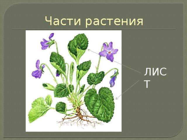 Части растения ЛИСТ