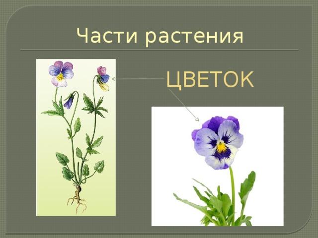 Части растения ЦВЕТОК У всех цветковых растений есть цветок. Цветки различаются по окраске, размерам, форме. На месте цветка образуются плоды. Чем больше цветков у растений, тем больше они образуют плодов и семян.