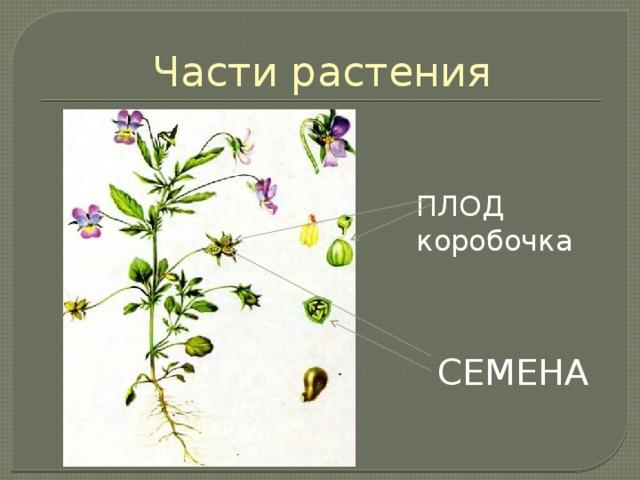Части растения ПЛОД коробочка СЕМЕНА