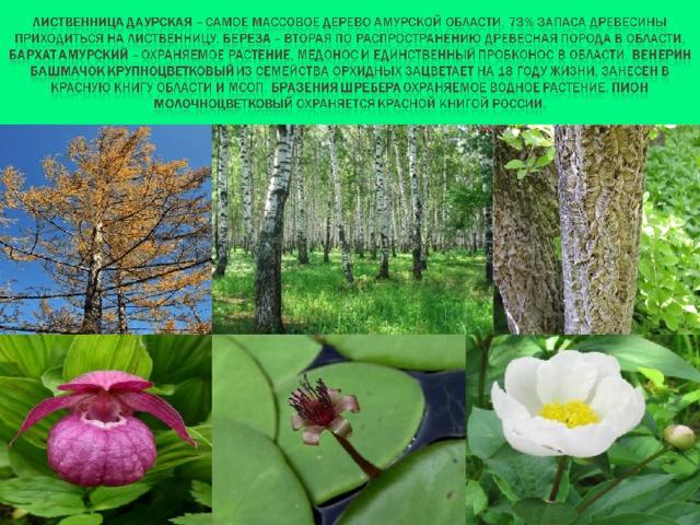 пользователи заметили растительность амурской обл в картинках там очень нравилось