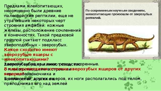 Предками млекопитающих, несомненно были древние палеозойские рептилии, еще не утратившие некоторых черт строения амфибий: кожные железы, расположение сочленений в конечностях. Такой предковой группой считают подкласс звероподобных – зверозубых. Какое сходство имеют зверозубые ящеры с млекопитающими? Зверозубые ящеры имеют сходство с млекопитающими в строении черепе, позвоночника и конечностей, а также в делении зубов на клыки, резцы и коренные. В чем проявляется отличие зверозубых ящеров от других ящеров? В отличие от других ящеров, их ноги располагались под телом, приподнимая его над землей