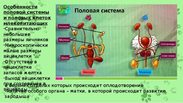 Особенности половой системы и половых клеток млекопитающих Сравнительно небольшие размеры яичников Микроскопически малые размеры яйцеклетки Отсутствие в яйцеклетке запасов желтка Выход яйцеклетки при созревании в яйцеводы, в верхних отделах которых происходит оплодотворение -наличие особого органа – матки, в которой происходит развитие зародыша