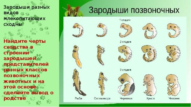 Зародыши разных видов млекопитающих сходны.   Найдите черты сходства в строении зародышей представителей разных классов позвоночных животных и на этой основе сделайте вывод о родстве