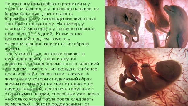 Период внутриутробного развития и у млекопитающих, и у человека называется беременностью. Длительность беременности у живородящих животных протекает по-разному. Например, у слонов 12 месяцев, а у грызунов период длится от 11-15 дней,. Количество детенышей в одном помете у млекопитающих зависит от их образа жизни. Так, у животных, которые рожают в дупле деревьев, норах и других укрытиях, период беременности короткий и в одном помете у них рождаются более десяти детей с закрытыми глазами. А животные у которых подвижный образ жизни производят на свет от одного до двух детенышей, достаточно крупных с открытыми глазами, способных уже через несколько часов после родов следовать за матерью. Частота родов зависит от массы животного и от продолжительности периода их беременности. Вот, например, у мышей рождаемость выше от 5 до 8 раз в год, а у жвачных только один раз.