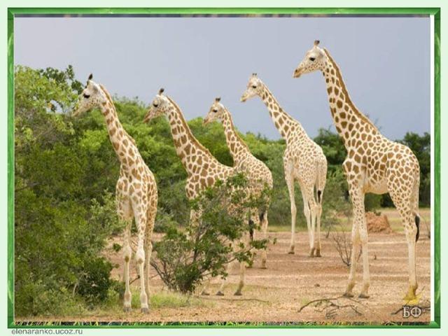 В нигерийских лесах сохранилось мало крупных млекопитающих: слонов, жирафов, носорогов. Более распространены леопард. шакалы, гиены, антилопы (около 30 видов), буйволы; встречайся чешуйчатый муравьед. Много различных видов павианов, мартышек, а также лемуров. В реках и озере Чад водятся бегемоты (в р. Нигер - карликовый бегемот), крокодилы. Масса птиц - ярких попугаев, красноголовых дятлов, удодов, турпанов, пеликанов. Из хищных птиц - африканский черный коршун, ястреб, гриф, птица-секретарь, птица-носорог. В Нигерии насчитывают тысячи различных видов насекомых.