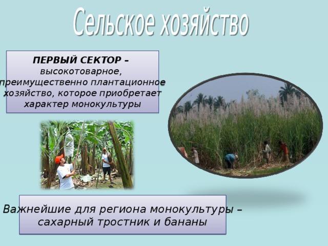 ПЕРВЫЙ СЕКТОР – высокотоварное, преимущественно плантационное хозяйство, которое приобретает характер монокультуры  Важнейшие для региона монокультуры – сахарный тростник и бананы 5