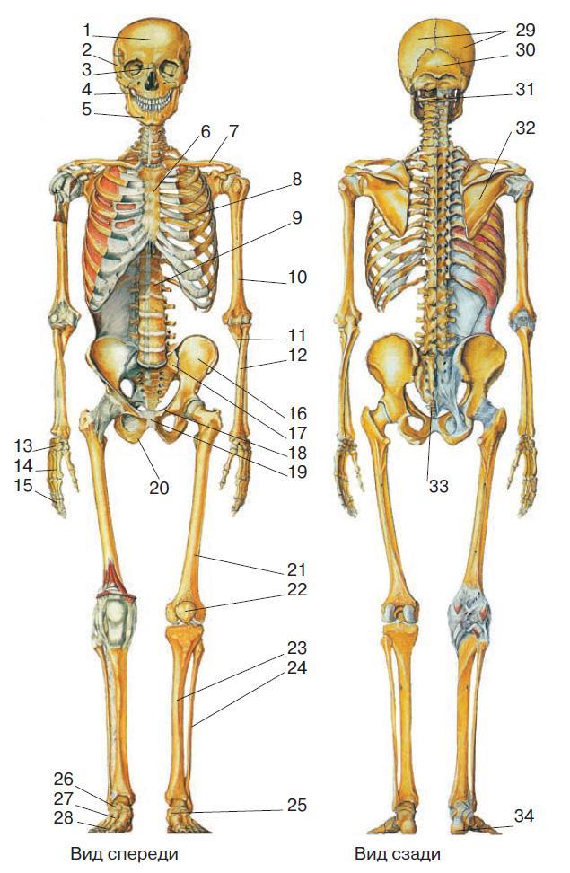 костная система с картинками интернет целом