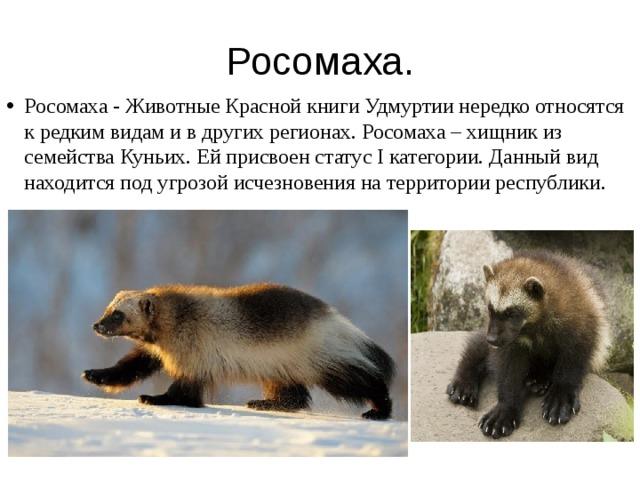 росомаха животное фото и описание такой