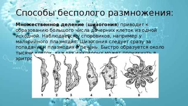 Способы бесполого размножения: Множественное деление ( шизогония ) приводит к образованию большого числа дочерних клеток из одной исходной. Наблюдается у споровиков, например у малярийного плазмодия. Шизогония следует сразу за попаданием плазмодия в печень.Быстро образуется около тысячи клеток, каждая из которых может проникнуть в эритроциты.