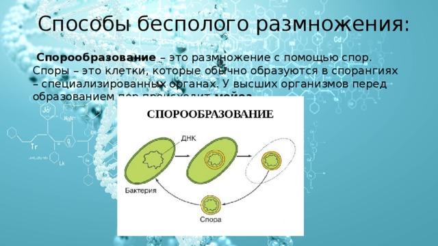 Способы бесполого размножения:    Спорообразование – это размножение с помощью спор. Споры – это клетки, которые обычно образуются в спорангиях – специализированных органах. У высших организмов перед образованием пор происходит мейоз .