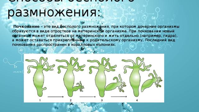 Способы бесполого размножения:  Почкование – это вид бесполого размножения, при котором дочерние организмы образуются в виде отростков на материнском организме. При почковании новый организм может отделяться от материнского и жить отдельно (например, гидра), а может оставаться прикрепленным к родительскому организму. Последний вид почкования распространен в коралловых колониях.