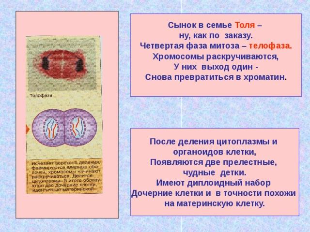 Сынок в семье Толя – ну, как по заказу. Четвертая фаза митоза – телофаза. Хромосомы раскручиваются,  У них выход один - Снова превратиться в хроматин .  . После деления цитоплазмы и органоидов клетки, Появляются две прелестные, чудные детки. Имеют диплоидный набор Дочерние клетки и в точности похожи на материнскую клетку.