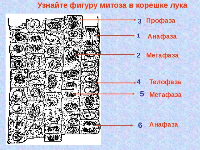 Узнайте фигуру митоза в корешке лука Профаза 3 Анафаза 1 2 Метафаза 4 Телофаза 5 Метафаза 6 Анафаза