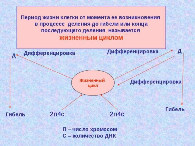Период жизни клетки от момента ее возникновения  в процессе деления до гибели или конца последующего деления называется жизненным циклом Д Дифференцировка Дифференцировка Д Жизненный цикл Дифференцировка Гибель 2п4с 2п4с Гибель П – число хромосом С – количество ДНК
