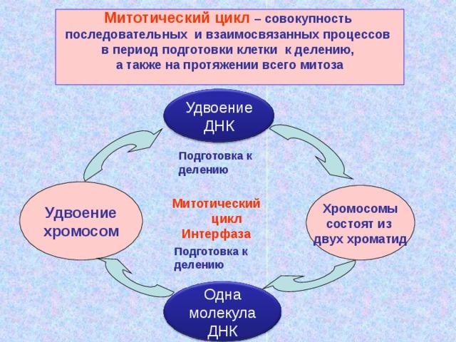 Митотический цикл – совокупность последовательных и взаимосвязанных процессов в период подготовки клетки к делению, а также на протяжении всего митоза  Удвоение ДНК Подготовка к делению Удвоение хромосом Хромосомы состоят из двух хроматид Митотический  цикл Интерфаза Подготовка к делению Одна молекула ДНК
