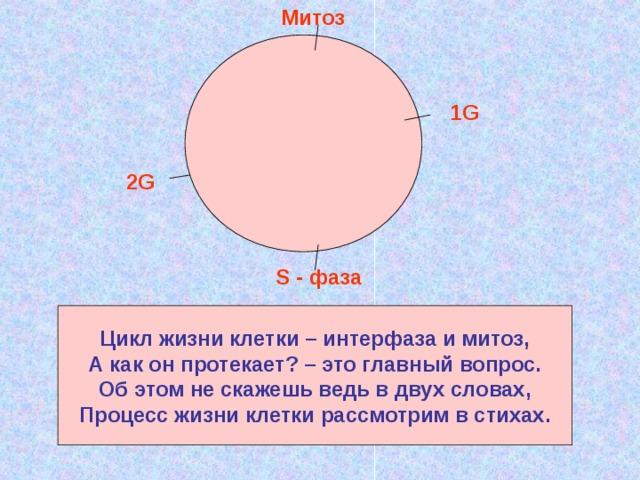 Митоз 1G 2G S - фаза Цикл жизни клетки – интерфаза и митоз, А как он протекает? – это главный вопрос. Об этом не скажешь ведь в двух словах, Процесс жизни клетки рассмотрим в стихах.