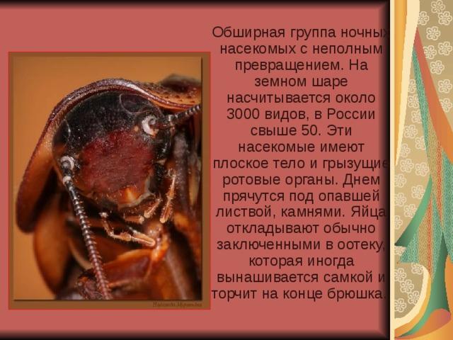 Обширная группа ночных насекомых с неполным превращением. На земном шаре насчитывается около 3000 видов, в России свыше 50. Эти насекомые имеют плоское тело и грызущие ротовые органы. Днем прячутся под опавшей листвой, камнями. Яйца откладывают обычно заключенными в оотеку, которая иногда вынашивается самкой и торчит на конце брюшка.