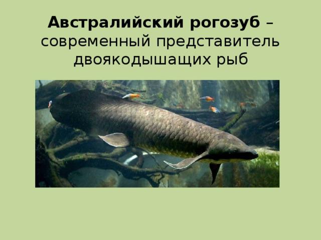 Австралийский рогозуб – современный представитель двоякодышащих рыб