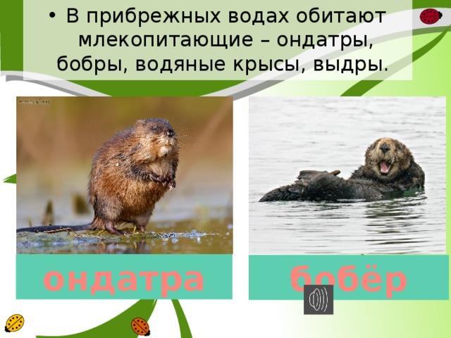 В прибрежных водах обитают млекопитающие – ондатры, бобры, водяные крысы, выдры. ондатра бобёр