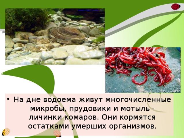 На дне водоема живут многочисленные микробы, прудовики и мотыль - личинки комаров. Они кормятся остатками умерших организмов.