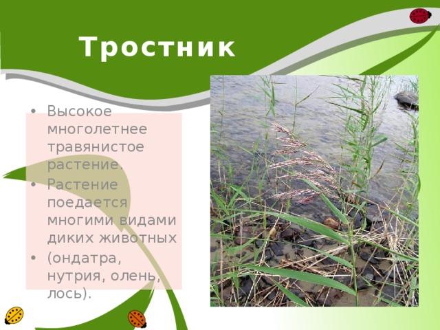Тростник Высокое многолетнее травянистое растение. Растение поедается многими видами диких животных (ондатра, нутрия, олень, лось).