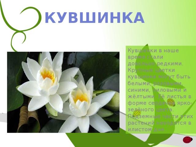 КУВШИНКА Кувшинки в наше время стали довольно редкими. Крупные цветки кувшинки могут быть белыми, розовыми, синими, лиловыми и жёлтыми. Её листья в форме сердечка ярко-зелёного цвета. Подземные части этих растений находятся в илистом дне.
