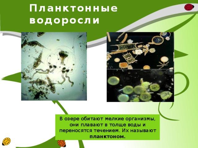 Планктонные водоросли В озере обитают мелкие организмы, они плавают в толще воды и переносятся течением. Их называют планктоном.