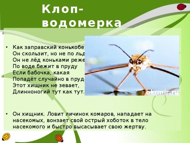 Клоп-водомерка Как заправский конькобежец Он скользит, но не по льду. Он не лёд коньками режет, По воде бежит в пруду Если бабочка, какая Попадёт случайно в пруд- Этот хищник не зевает, Длинноногий тут как тут. Он хищник. Ловит личинок комаров, нападает на насекомых, вонзает свой острый хоботок в тело насекомого и быстро высасывает свою жертву.