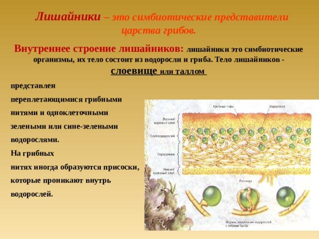 Лишайники – это симбиотические представители царства грибов. Внутреннее строение лишайников: лишайники это симбиотические организмы, их тело состоит из водоросли и гриба. Тело лишайников - слоевище  или таллом представлен переплетающимися грибными нитями и одноклеточными зелеными или сине-зелеными водорослями. На грибных нитях иногда образуются присоски, которые проникают внутрь водорослей.