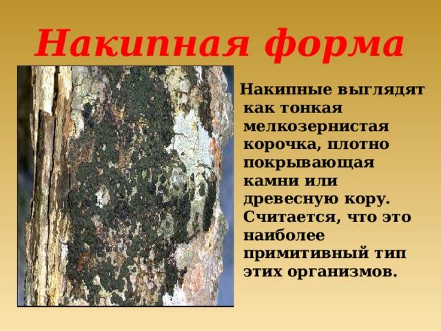 Накипная форма  Накипные выглядят как тонкая мелкозернистая корочка, плотно покрывающая камни или древесную кору. Считается, что это наиболее примитивный тип этих организмов.