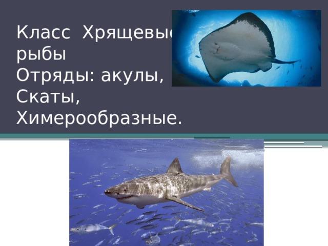 Класс Хрящевые рыбы Отряды: акулы, Скаты, Химерообразные.