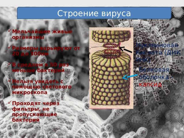 Строение вируса Мельчайшие живые организмы  Размеры варьируют от 20 до 300нм  В среднем в 50 раз меньше бактерий  Нельзя увидеть с помощью светового микроскопа  Проходят через фильтры, не пропускающие бактерий Нуклеиновая Кислота (ДНК РНК) Белковая оболочка - капсид