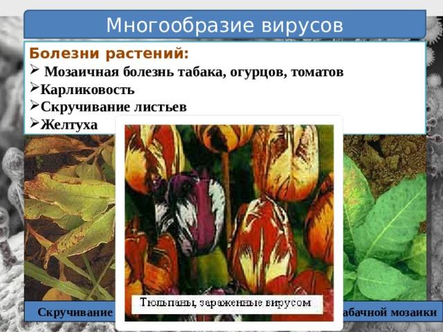 Многообразие вирусов Болезни растений:  Мозаичная болезнь табака, огурцов, томатов Карликовость Скручивание листьев Желтуха Скручивание листьев Вирус табачной мозаики