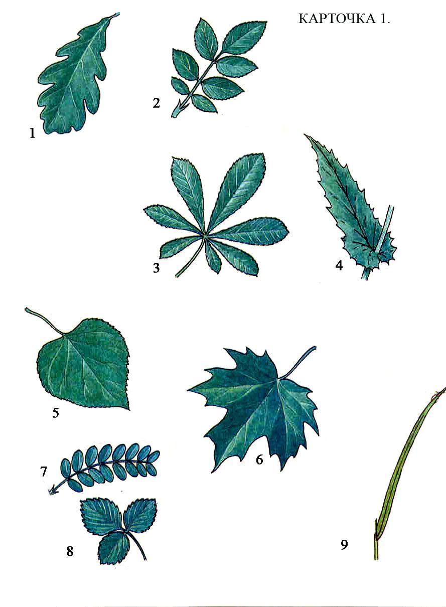 картинки простые и сложные листья примеры картинки они зачастую представляют