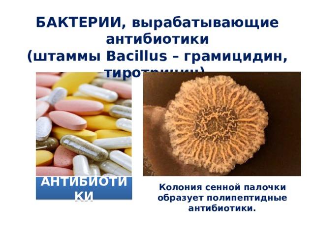 БАКТЕРИИ, вырабатывающие антибиотики (штаммы Bacillus – грамицидин, тиротрицин).  АНТИБИОТИКИ Колония сенной палочки образует полипептидные антибиотики.