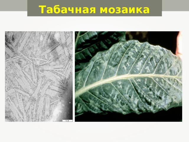 Табачная мозаика