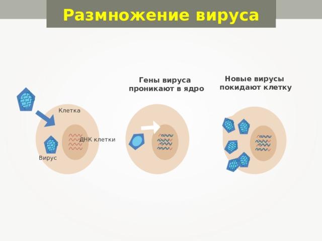 Размножение вируса Новые вирусы покидают клетку Гены вируса проникают в ядро Клетка ДНК клетки Вирус